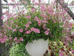 Παραγωγή Εποχιακών Φυτών ΝΤΙΑΣΚΙΑ - Diascia Φυτώρια Κομιτουδης Χάρης
