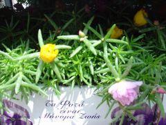 Παραγωγή Εποχιακών Φυτών  ΜΕΤΑΞΑΚΙ-ΝΥΧΑΚΙ-ΜΕΣΗΜΕΡΑΚΙ - Portulaca Φυτώρια Κομιτουδης Χάρης