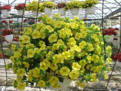 Παραγωγή Εποχιακών Φυτών ΜΙΛΙΟΝ ΜΠΕΛΑΣ - Million bells-Calibrachoa Φυτώρια Κομιτουδης Χάρης