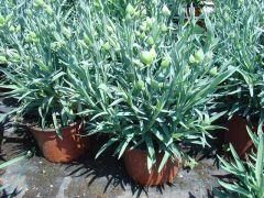 Παραγωγή Εποχιακών Φυτών  ΓΑΡΥΦΑΛΛΟ  - Dianthus Φυτώρια Κομιτουδης Χάρης