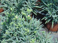 ΓΑΡΥΦΑΛΛΟ  Dianthus Είναι διαθέσιμο