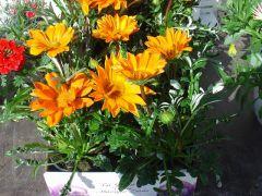 Παραγωγή Εποχιακών Φυτών Γκαζάνια - Gazania Φυτώρια Κομιτουδης Χάρης