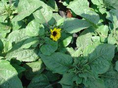 Παραγωγή Εποχιακών Φυτών ΗΛΙΑΝΘΟΣ - .Helianthus Φυτώρια Κομιτουδης Χάρης