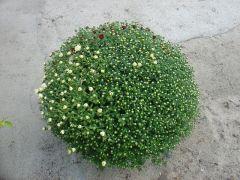Παραγωγή Εποχιακών Φυτών  ΧΡΥΣΑΝΘΕΜΟ - Chrysanthemum Φυτώρια Κομιτουδης Χάρης