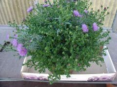 Παραγωγή Εποχιακών Φυτών ΑΣΤΕΡ - ASTER
