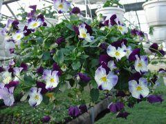 Παραγωγή Εποχιακών Φυτών ΠΑΝΣΕΣ ΚΡΕΜΑΣΤΟΣ - hanging Pansy  Φυτώρια Κομιτουδης Χάρης