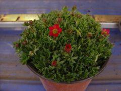 Παραγωγή Εποχιακών Φυτών ΣΑΞΙΦΡΑΓΚΑ - Saxifraga