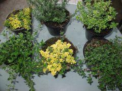 Παραγωγή Εποχιακών Φυτών ΑΡΩΜΑΤΙΚΑ ΦΥΤΑ -  Φυτώρια Κομιτουδης Χάρης