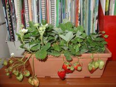 Παραγωγή Εποχιακών Φυτών ΦΡΑΟΥΛΑ - FRAGARIA Φυτώρια Κομιτουδης Χάρης