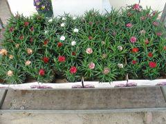 Παραγωγή Εποχιακών Φυτών ΓΑΡΥΦΑΛΛΟ ΜΟΣΧΕΥΜΑ - Dianthus Φυτώρια Κομιτουδης Χάρης