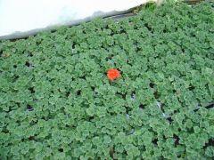 pelargonium zonale Μολόχα (Γερανι) Είναι διαθέσιμο