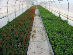 Παραγωγή Εποχιακών Φυτών  Μολόχα (Γερανι) - pelargonium zonale Φυτώρια Κομιτουδης Χάρης