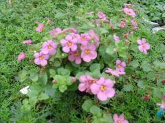 Παραγωγή Εποχιακών Φυτών ΜΠΑΚΟΠΑ - BACOPA Φυτώρια Κομιτουδης Χάρης
