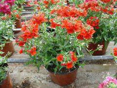 Παραγωγή Εποχιακών Φυτών ΝΕΜΕΖΙΑ - NEMESIA Φυτώρια Κομιτουδης Χάρης