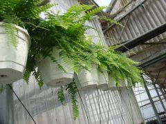 Παραγωγή Εποχιακών Φυτών ΦΤΕΡΗ - Nephrolepis exaltata  Φυτώρια Κομιτουδης Χάρης