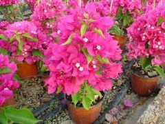 Παραγωγή Εποχιακών Φυτών ΒΟΥΚΑΜΒΙΛΙΑ - . BOUGAINVILLEA Φυτώρια Κομιτουδης Χάρης