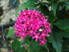 Παραγωγή Εποχιακών Φυτών ΠΕΝΤΑΣ - Pentas Φυτώρια Κομιτουδης Χάρης