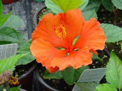 hibiscus -ΙΒΙΣΚΟΣ Είναι διαθέσιμο