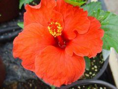 Παραγωγή Εποχιακών Φυτών ΙΒΙΣΚΟΣ - hibiscus Φυτώρια Κομιτουδης Χάρης