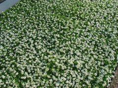 Παραγωγή Εποχιακών Φυτών Αλυσος - Alyssum (lobularia maritima) Φυτώρια Κομιτουδης Χάρης