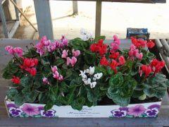 Παραγωγή Εποχιακών Φυτών ΚΥΚΛΑΜΙΝΟ - CYCLAMEN Φυτώρια Κομιτουδης Χάρης
