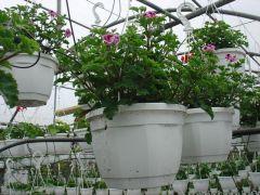 Παραγωγή Εποχιακών Φυτών ΠΕΛΑΡΓΟΝΙ (ΜΑΥΡΟΜΑΤΑ)  - PELARGONIUM ANGELEYES  Φυτώρια Κομιτουδης Χάρης