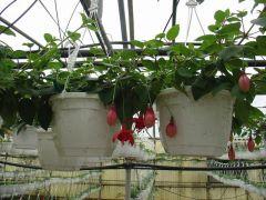 Παραγωγή Εποχιακών Φυτών ΣΚΟΥΛΑΡΙΚΙΑ (ΦΟΥΞΙΑ) ΚΡΕΜΑΣΤΗ - FUCHSIA TRAILING Φυτώρια Κομιτουδης Χάρης