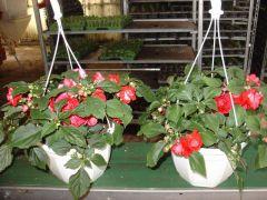 Παραγωγή Εποχιακών Φυτών ΕΡΩΤΑΣ ΔΙΠΛΟΣ - Impatiens walleriana Double  Φυτώρια Κομιτουδης Χάρης