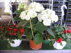 Παραγωγή Εποχιακών Φυτών ΟΡΤΑΝΣΙΑ - Hydrangea Φυτώρια Κομιτουδης Χάρης