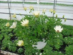 Παραγωγή Εποχιακών Φυτών  Οστεόσπερμο (Διμορφοθήκη)κρεμαστη - Osteospermum trailing Φυτώρια Κομιτουδης Χάρης