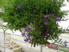Παραγωγή Εποχιακών Φυτών Λομπέλια κρεμαστή - Lobelia trailing Φυτώρια Κομιτουδης Χάρης