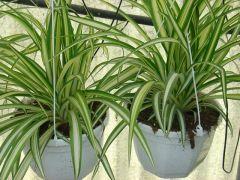 Παραγωγή Εποχιακών Φυτών Χλωρόφυτο - Chlorophytum Φυτώρια Κομιτουδης Χάρης