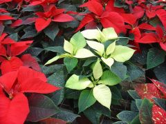 Παραγωγή Εποχιακών Φυτών ΠΟϊΝΣΕΤΙΑ(ΑΛΕΞΑΝΔΡΙΝΟ) - POINSETTIA Φυτώρια Κομιτουδης Χάρης