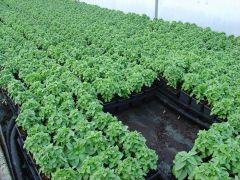 Παραγωγή Εποχιακών Φυτών ΒΑΣΙΛΙΚΟΣ - Basilikum Φυτώρια Κομιτουδης Χάρης