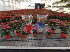 Παραγωγή Εποχιακών Φυτών ΑΛΕΞΑΝΔΙΝΟ - POINSETTIA Φυτώρια Κομιτουδης Χάρης