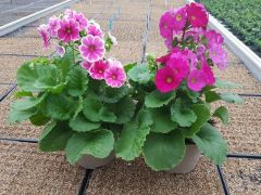 Παραγωγή Εποχιακών Φυτών ΠΡΙΜΟΥΛΑ ΟΠΚΟΝΙΚΑ - Primula obconica Φυτώρια Κομιτουδης Χάρης