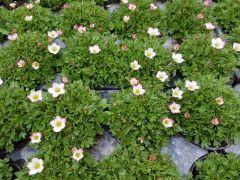 Παραγωγή Εποχιακών Φυτών  ΣΑΞΙΦΡΑΓΚΑ - Saxifraga  Φυτώρια Κομιτουδης Χάρης