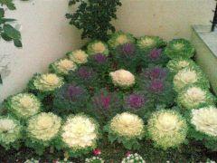 Παραγωγή Εποχιακών Φυτών Λαχανο Καλλωπιστικό - Βrassica  Φυτώρια Κομιτουδης Χάρης