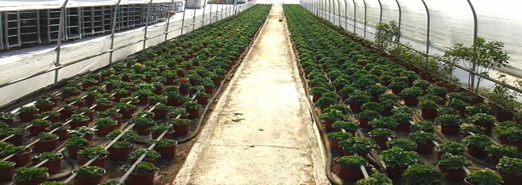 Παραγωγή Εποχιακών Φυτών Φυτώρια Θεσσαλονίκης Κομιτούδης Χάρης